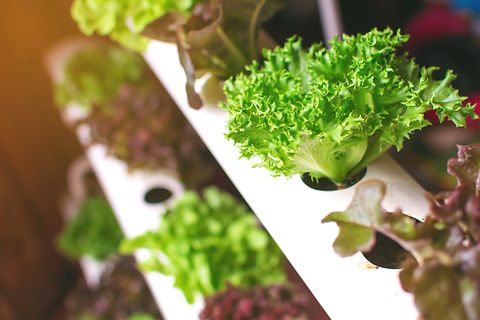 Young and fresh vegetable green color in