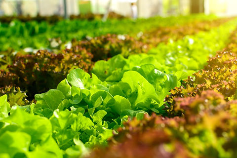 Organic hydroponic vegetable cultivation