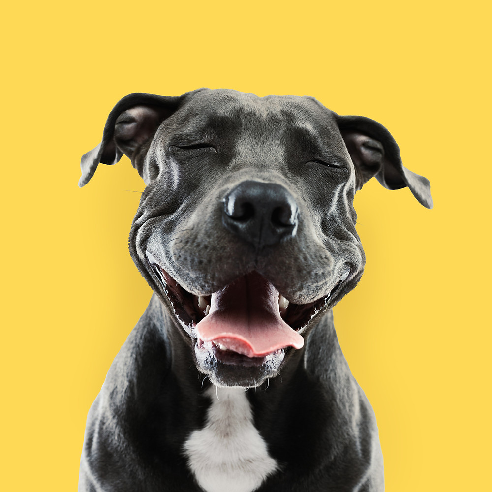 Black dog with a yellow background