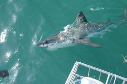 Shark-Cage-Diving---Gansbaai-1.jpg