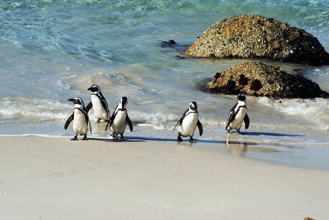 Boulders-Beach---penguins-2.jpg