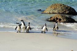 Boulders-Beach---penguins-2.jpg
