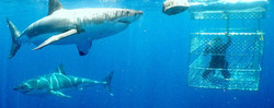 Shark-Cage-Diving---Gansbaai-2.jpg