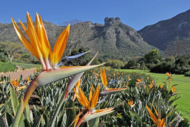 Kirstenbosch---strelitzia.jpg