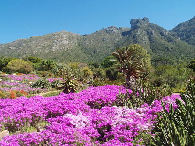 Kirstenbosch---vygies.jpg