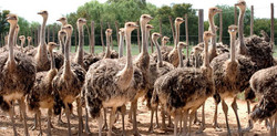 Oudtshoorn---ostrich-farm-1.jpg