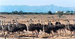Oudtshoorn---ostrich-farm-2.jpg