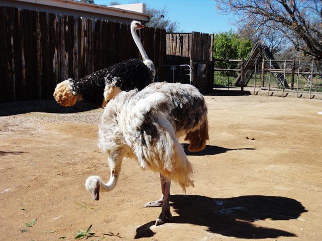Oudtshoorn---Ostrich-Farm-3.jpg