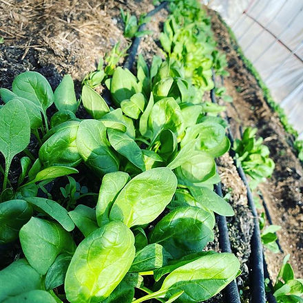 Spinach is coming along just fine 😋.jpg