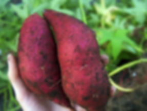 patates douces 2015-10-12-6:53:25