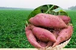 Récolte des patates douces;