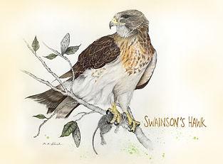 Swainson_Hawk_DEHNER2017_postRes.jpg