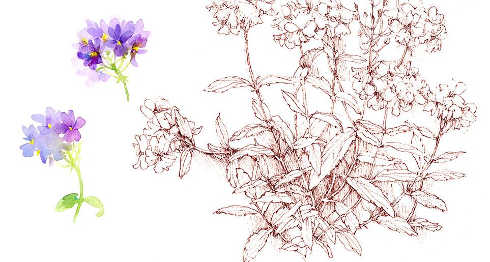 GF_nemesia sketch.jpg