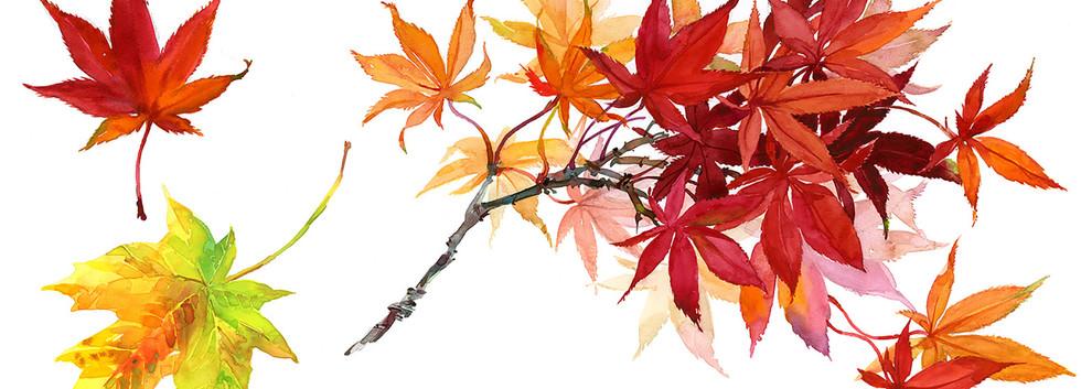 GF_leaves Japanese Maple.jpg