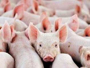 Selacid Green Growth - Sicherheit & Leistung im Schweinestall