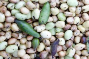 Vegane BIO Erbsen- und Favabohnenproteine