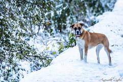 Chira (mère Malamute d'Alaska, père croisé Boxer/Bulldog Américain)
