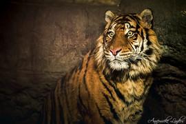 Tigre Sumatran, Zoo Blijdorp, Rotterdam, Pays-Bas