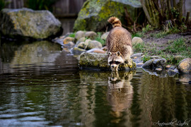 Raton laveur, zoo Blijdorp, Rotterdam, Pays-Bas