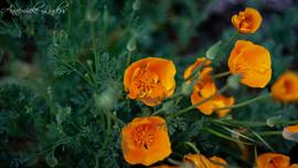 le souci, fleurs printanières