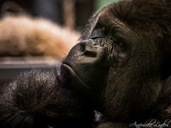 Bokito, Gorille