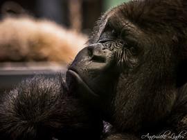 Gorille Bokito, zoo Blijdorp Rotterdam, Pays-Bas