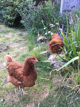 After weeks and weeks of scurrying the chickens out of the kitchen they have now trained themselves