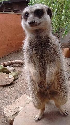 meerkat bill.jpg