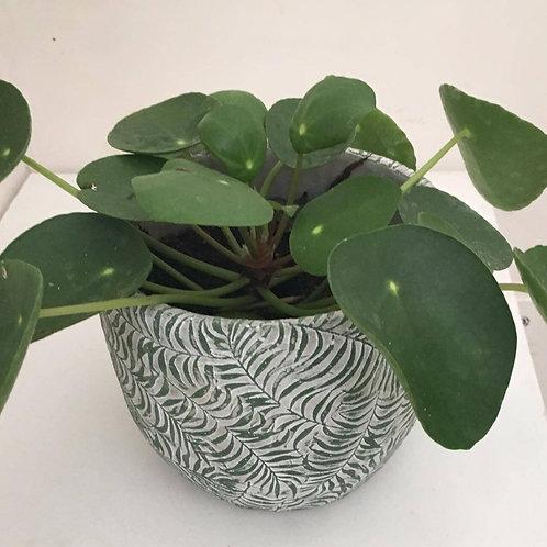 Pannenkoekenplant (incl. pot)