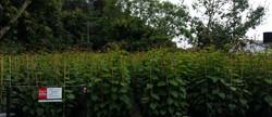 kiwifruit (1)