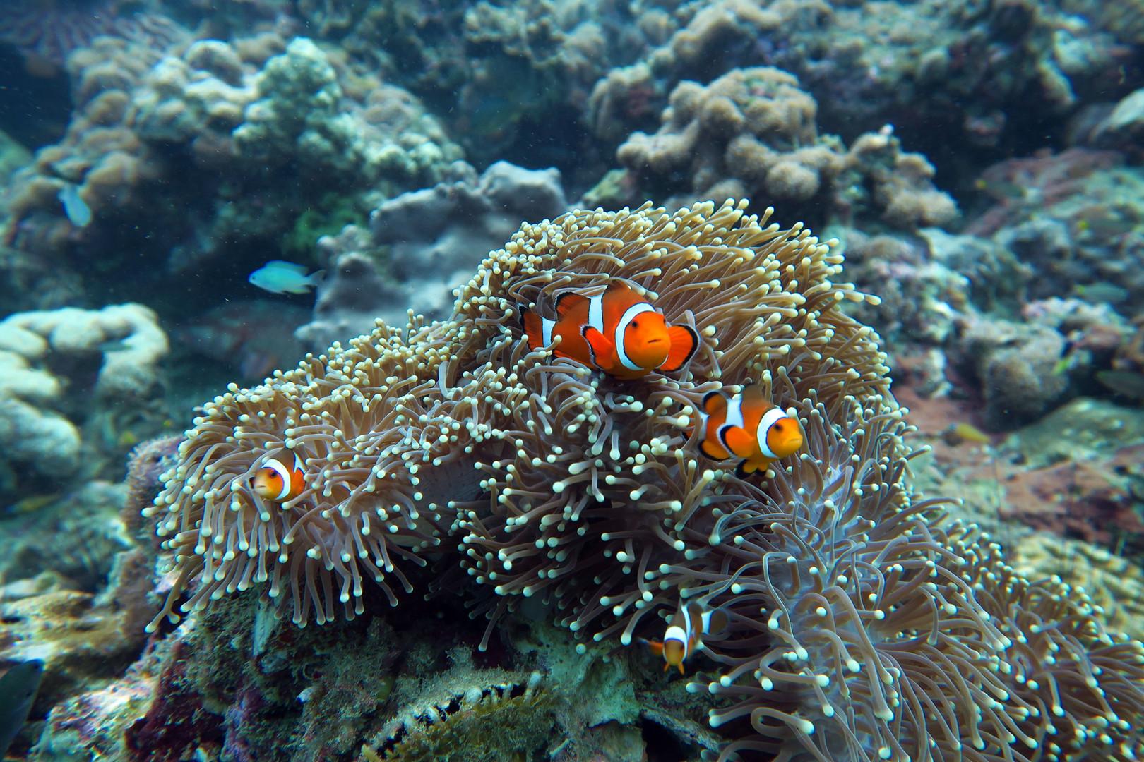 Los famosos Nemos