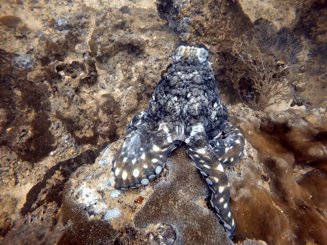 Pulpo en Phi Phi