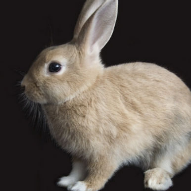 Why it's important to have your rabbit microchipped at Cat & Rabbit Clinic