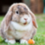 Protect your rabbit against RVHD with Cat & Rabbit Clinic
