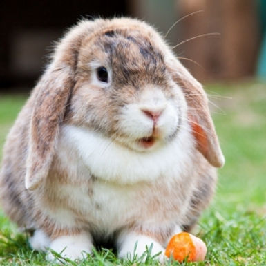 Protect your rabbit against RVHD with Northlands