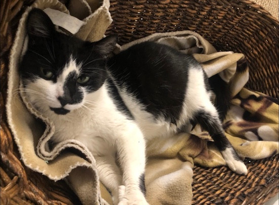 A pregnant black and white cat, lying on fleece blankets in a wicker basket and looking sweetly up at the camera.
