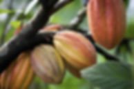 BCFM - Cultivation - Sustainable - Cocoa