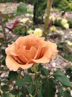The Ootha Brown Rose