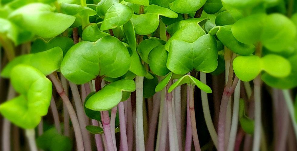 Radish Triton Purple Non-GMO