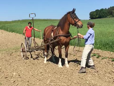 Unser kleines Freilichtmuseeum - Pferd im Einsatz für die Kartoffeln