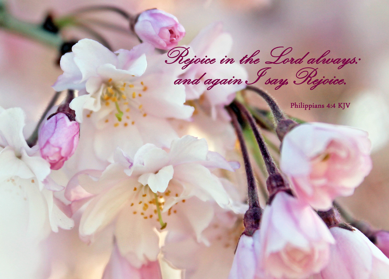 #0037 Cherry blossoms phil 4 4 copy.jpg