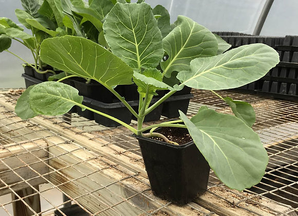 Collards Plant - GHF