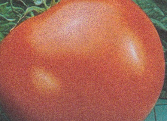 Goliath Tomato Plant - GHF