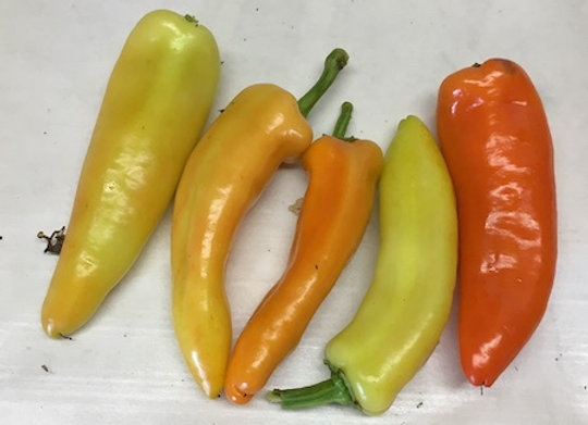Hungarian Hot Wax Pepper Plant - GHF