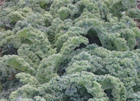 Green Kale - GHF
