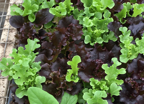 Mixed Lettuce Varieties Plant - GHF