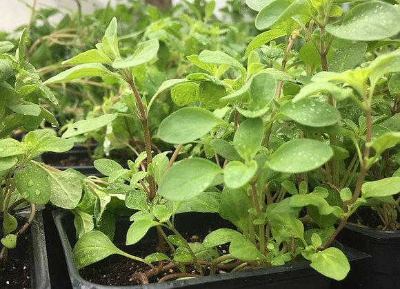 Sweet Marjoram Plant - GHF