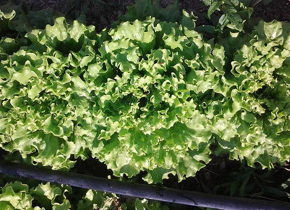 Green Leaf Lettuce - GHF
