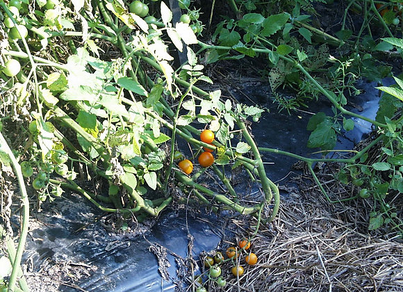 Sungold Cherry (Orange) Plant - GHF