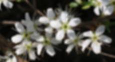 _Fleurs de prunier 2.jpg